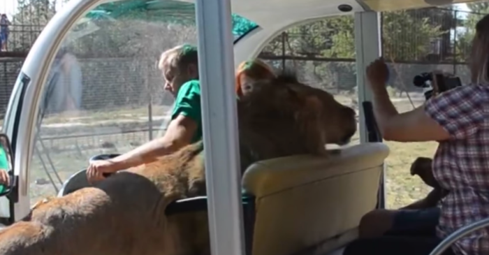 A Safari Park Trip Went From Fun to Scary When a Lion Jumped into The Tourist Vehicle