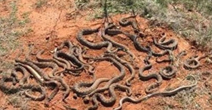 Texas Hunters Lifted Their Deer Blind and Found 26 Rattlesnakes