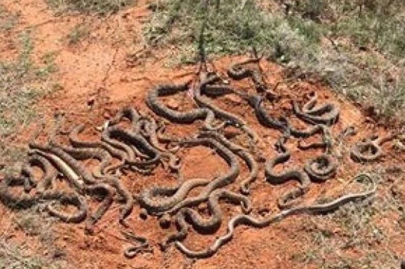 Rattlesnakes Texas Deer Blind