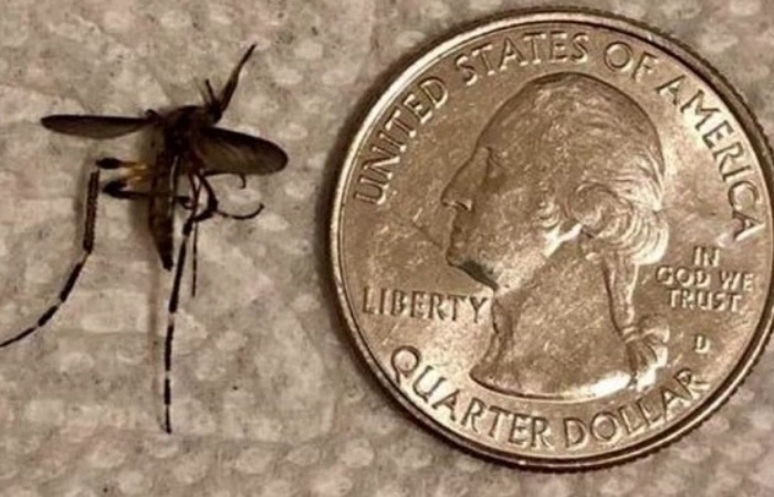 Quarter Size Mosquitoes Are Invading South Texas After Heavy Rain