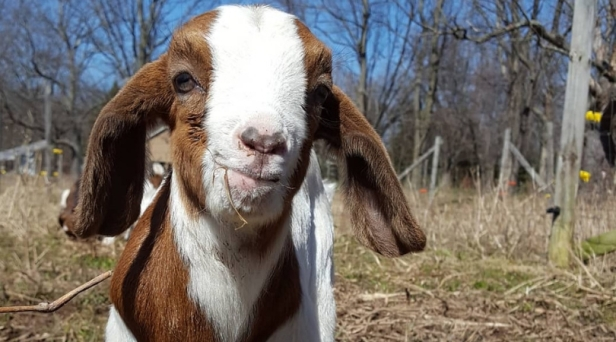 Study Shows Goats Are Drawn To Human Smiles!