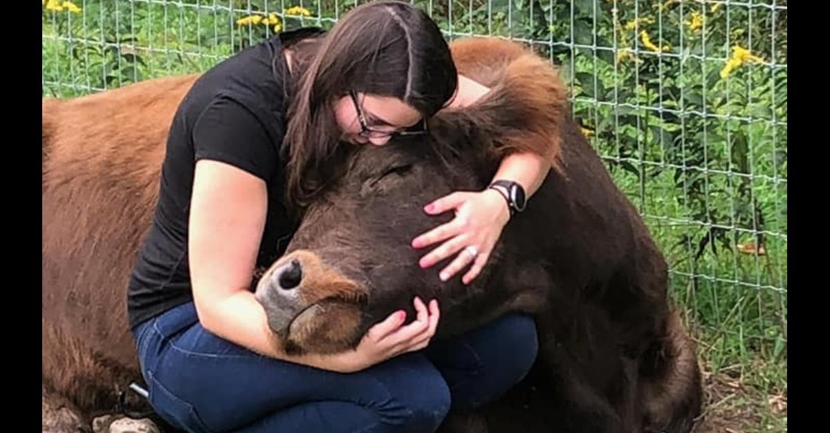 cow cuddles