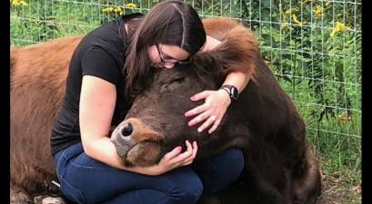 cow cuddles
