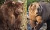 fattest bear