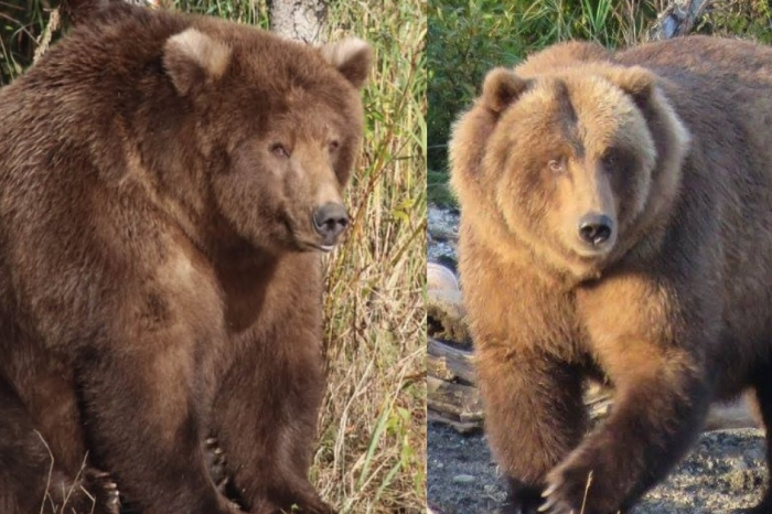 These 13 Fat Bears Are Pawsitively Chunky
