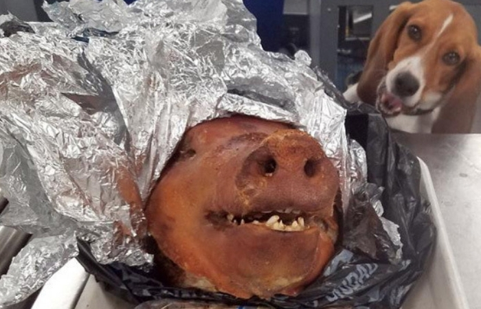 K-9 Beagle Finds Roasted Pig in Luggage at Atlanta Airport