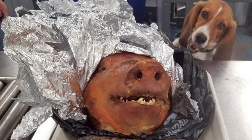 CBP K-9 Beagle Finds Roasted Pig in Luggage at Atlanta Airport