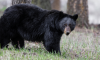 Bear Attacks Pennsylvania Woman