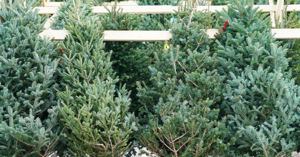 Stolen Christmas Trees