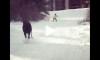 moose chasing skier