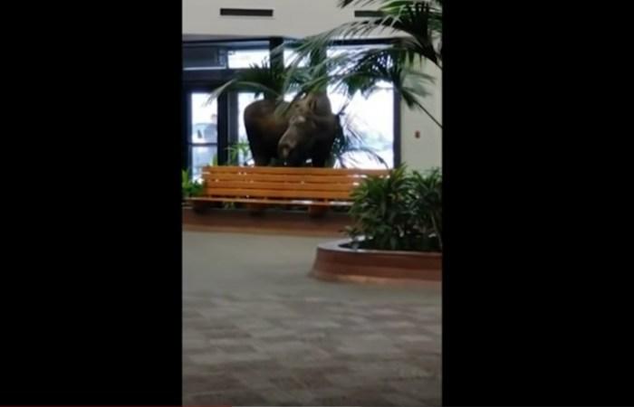 Moose Hilariously Wanders Around Alaska Hospital Building