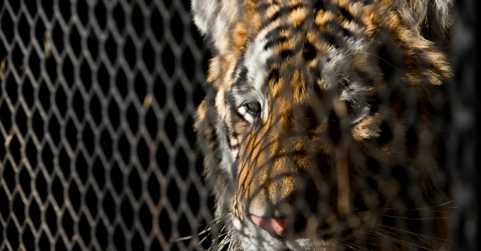 Woman Finds Tiger in Abandoned Texas House