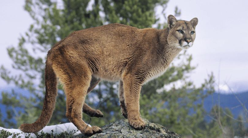 Mountain Lion Jogger