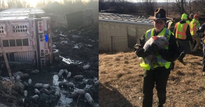 Truck Carrying 3,000 Piglets Overturns Leaving A 'Pig' Mess!