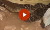 Texan Finds A Total of 45 Rattlesnakes Hiding Underneath His Home