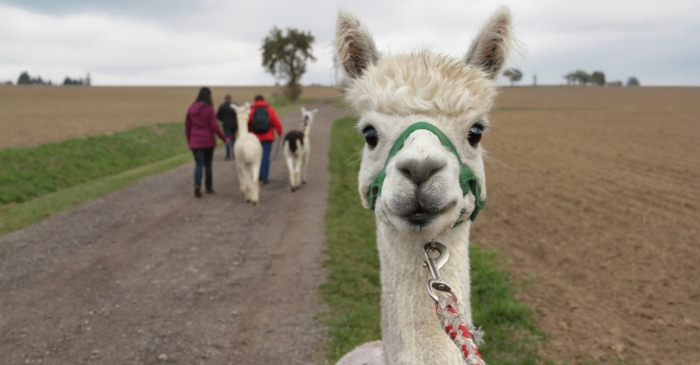 This Texas Vineyard Lets You Drink Wine While Hanging Out With Alpacas!