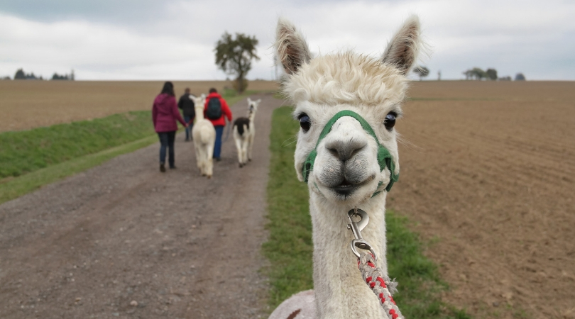 Are You In Texas For The Summer? You Can Drink Wine With Alpacas at This Vineyard!