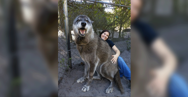 'Giant' Wolfdog Dumped at Kill Shelter Is Actually 87 Percent Gray Wolf