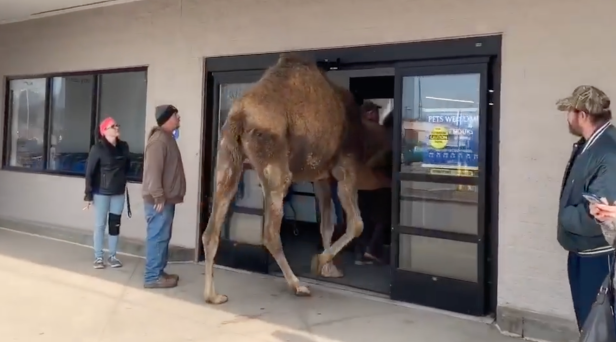 Watch This Guy Barely Get This Giant Camel into a PetSmart