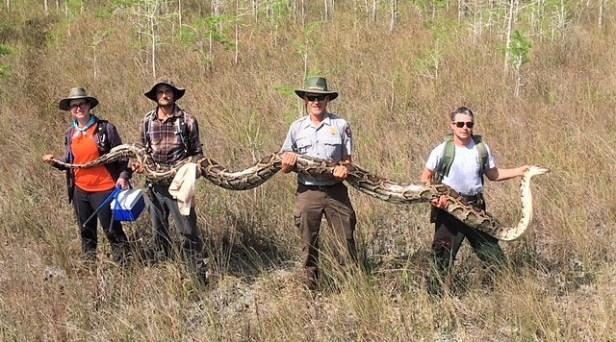 Florida Officials Caught a Monstrous 17-Foot, 140-Pound Python
