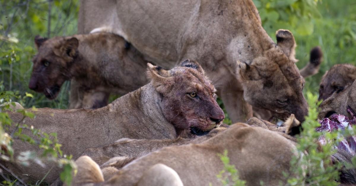 Lions each poacher.