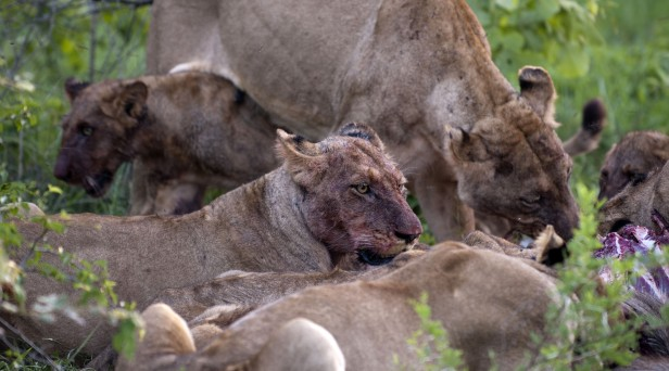 Rhino Poacher Trampled to Death by Elephant, Then Eaten by Lions