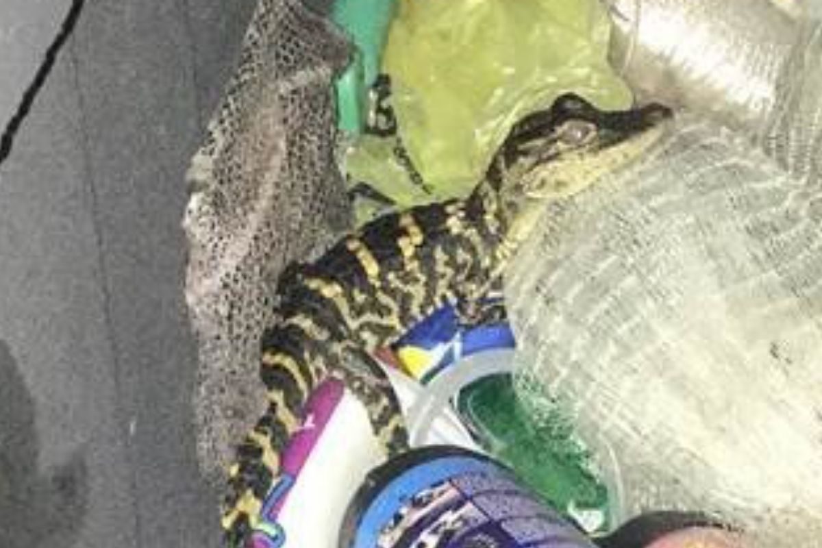 Police Find Foot-Long Alligator in Woman's Pants During Traffic Stop
