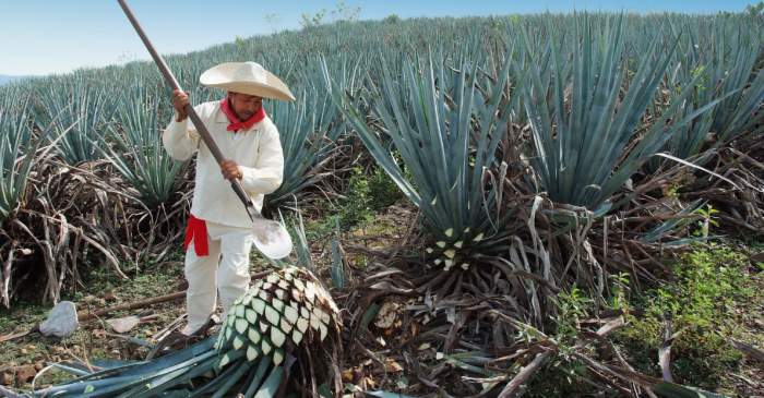 Study Shows That the Sugars in Agave Fruit Help You Lose Weight
