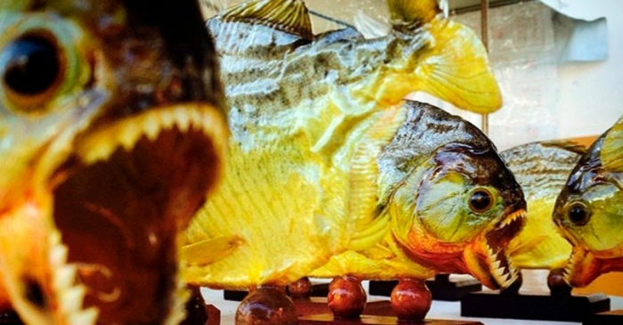 Chef Stopped at Los Angeles Airport with 40 Frozen Piranhas