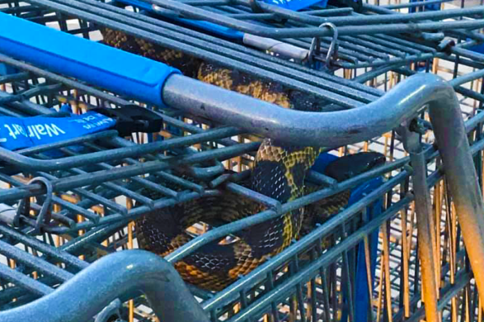 Woman Finds Giant Snake While Grabbing Walmart Shopping Cart