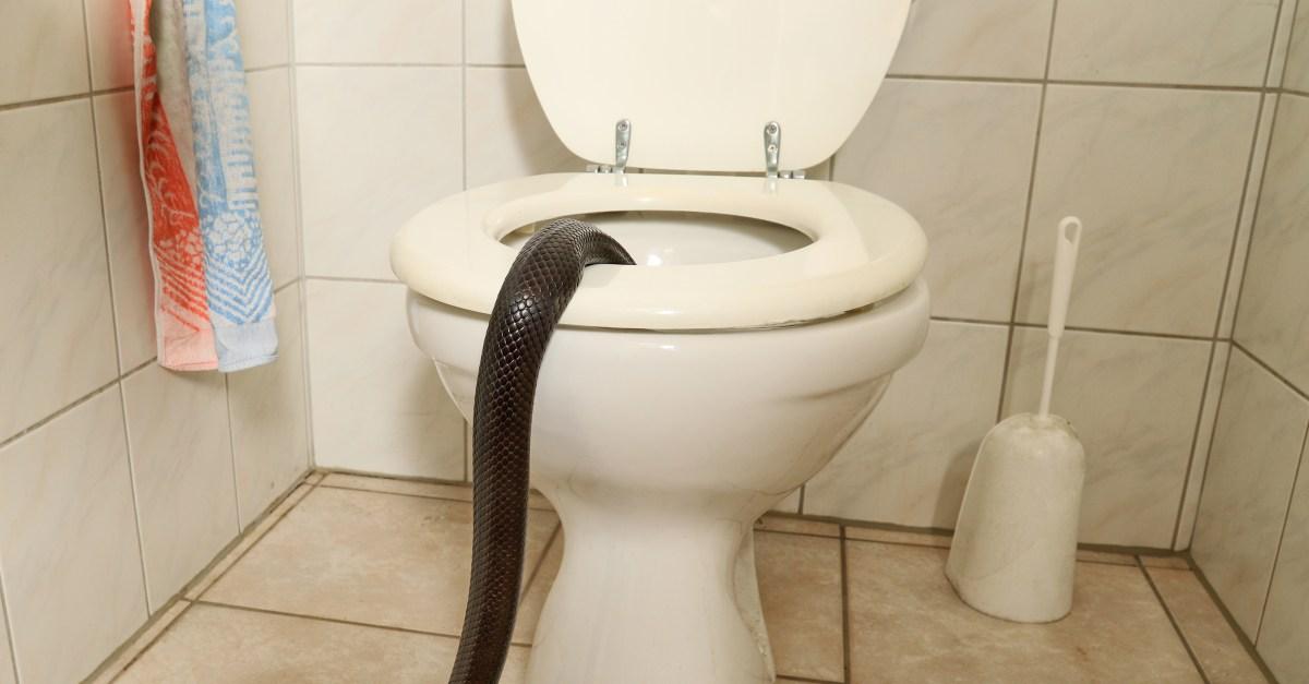 Toilet Snake Florida Man