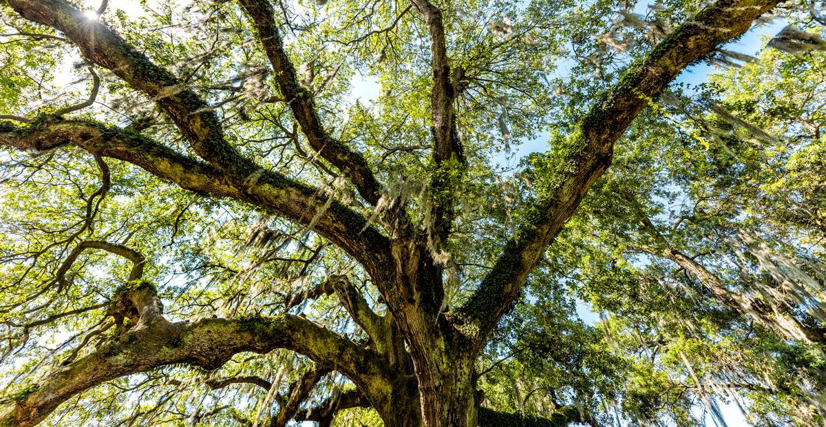 Tree Of Life Audubon Park NOLA