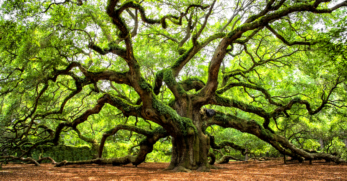The Angel Oak Tree Is 400 Years Of American History East Of The Mississippi Rare