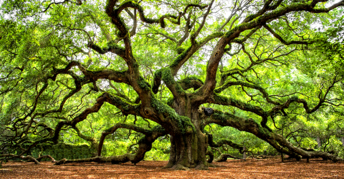 This 400-Year-Old Oak Is the Oldest Tree East of the Mississippi