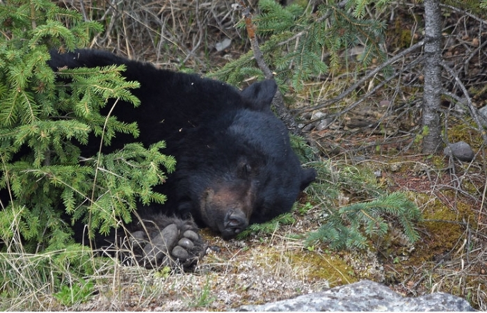 Remember When a Bear Passed Out After Downing 36 Beers?
