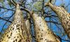 Sandbox Tree Hura Crepitans