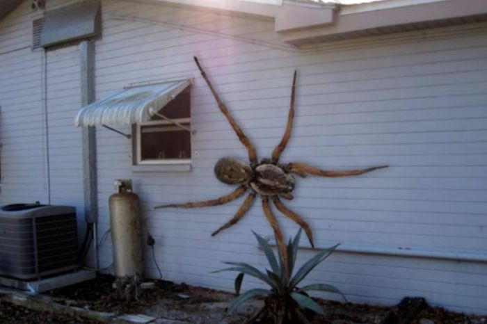 Fact Check: Is The Giant Hawaiian Cane Spider Real?