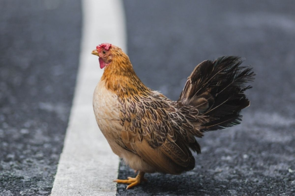 PETA Wants Idaho to Rename the Street 'Chicken Dinner Road'