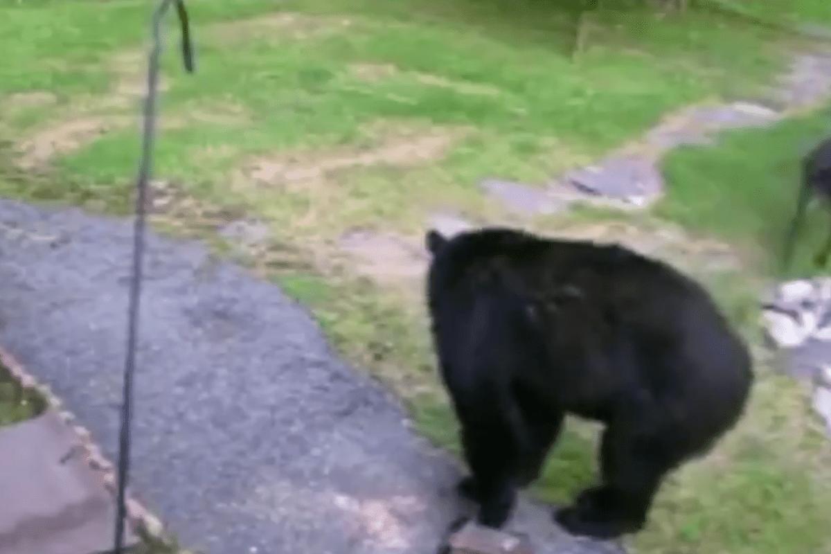 Dog Attacks Bear