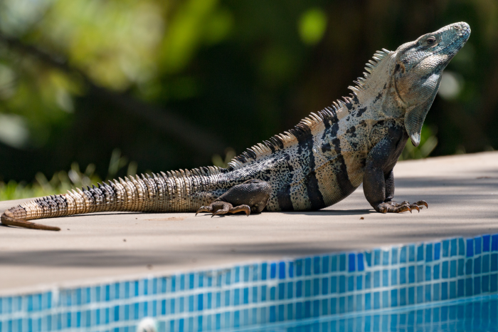 It's Iguana Season: Florida Officials Urge Residents to Kill Lizards Whenever Possible
