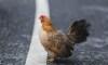 PETA Wants Idaho to Rename 'Chicken Dinner Road' Street