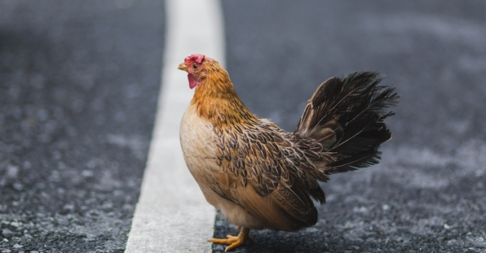 PETA Wants Idaho to Rename the Street 'Chicken Dinner Road'