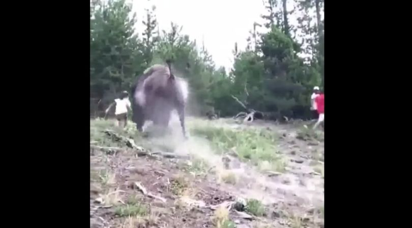 9-Year-Old Girl Violently Tossed by Bison at Yellowstone Park