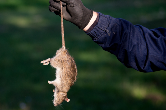U.S. Customs Agents Seize Smuggled African Rat Meat at Airport