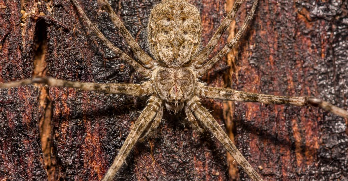 Doctors Find Brown Recluse Spider Living in Woman's Ear
