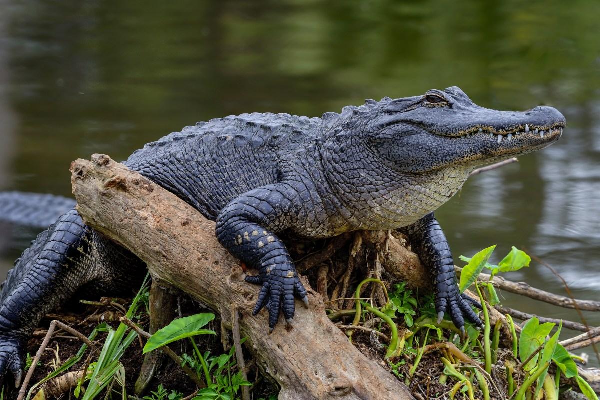 Alligator attacks Woman SC