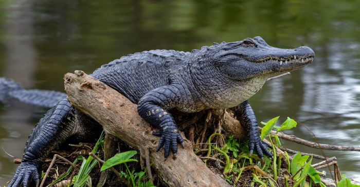 12-Foot Gator Rips Man's Arm Off During Alligator Hunt