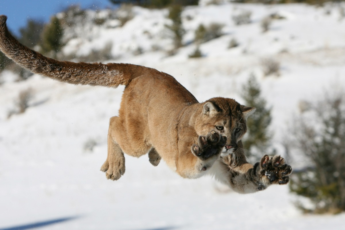 Mountain Lion Jumping