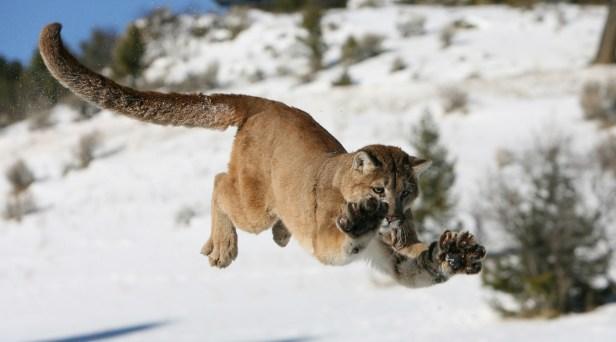 Mountain Lion Bites Boy on Head Outside His Home