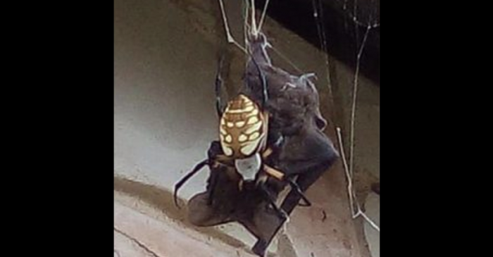 Woman Finds Spider Eating a Bat in Her Front Yard